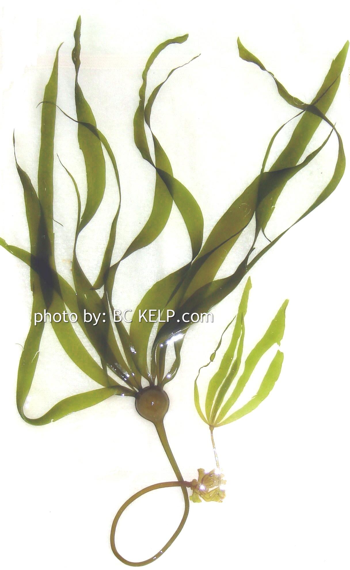 bc kelpabout kelp british columbia kelpcanada bc kelp